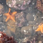 Bat stars can be pink, gray, brown, red and blue as well as this bright orange.